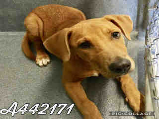 Mix-Bred LABRADOR RETRIEVER Male  Young  Puppy #A442171#  Animal Care Services (San Antonio) - click here to view larger pic