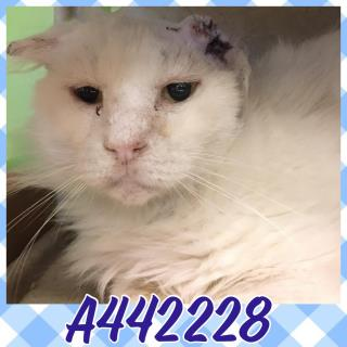 Mix-Bred DOMESTIC LONGHAIR Male  Adult  Cat #A442228#  Animal Care Services (San Antonio) - click here to view larger pic