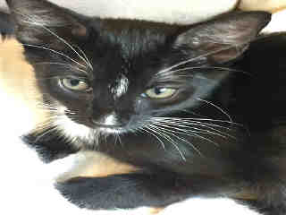 Mix-Bred DOMESTIC SHORTHAIR Male  Young  Kitten #A442256#  Animal Care Services (San Antonio) - click here to view larger pic