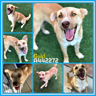 Mix-Bred LABRADOR RETRIEVER Male  Adult  Dog #A442272#  Animal Care Services (San Antonio) - click here to view larger pic