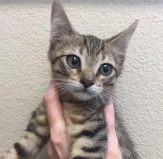 Mix-Bred DOMESTIC SHORTHAIR Male  Young  Kitten #A442278#  Animal Care Services (San Antonio) - click here to view larger pic