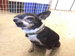 CHIHUAHUA - SMOOTH COATED Female  Older  Dog #A442321#  Animal Care Services (San Antonio) - click here to view larger pic