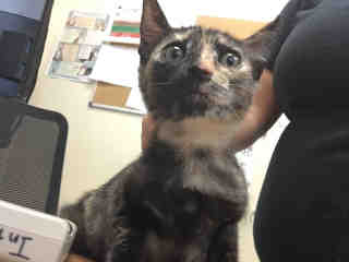 Mix-Bred DOMESTIC SHORTHAIR Female  Young  Kitten #A442335#  Animal Care Services (San Antonio) - click here to view larger pic