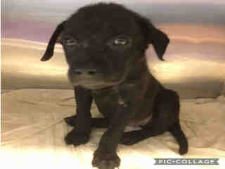 Mix-Bred TERRIER Female  Young  Puppy #A442374#  Animal Care Services (San Antonio) - click here to view larger pic