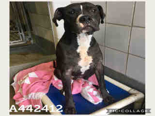 Mix-Bred AMERICAN STAFFORDSHIRE TERRIER Male  Adult  Dog #A442412#  Animal Care Services (San Antonio) - click here to view larger pic