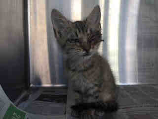 Mix-Bred DOMESTIC SHORTHAIR Male  Young  Kitten #A442464#  Animal Care Services (San Antonio) - click here to view larger pic