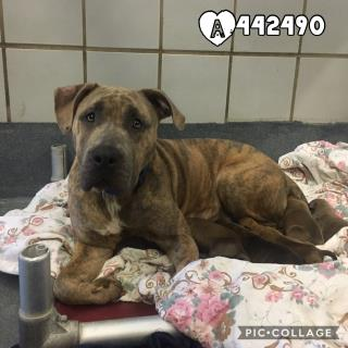 AMERICAN STAFFORDSHIRE TERRIER Female  Adult  Dog #A442490#  Animal Care Services (San Antonio) - click here to view larger pic