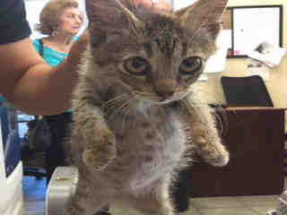 Mix-Bred DOMESTIC SHORTHAIR Female  Young  Kitten #A442513#  Animal Care Services (San Antonio) - click here to view larger pic