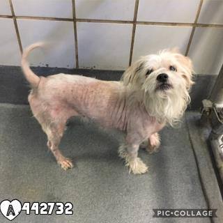 Mix-Bred MALTESE Male  Adult  Dog #A442732#  Animal Care Services (San Antonio) - click here to view larger pic