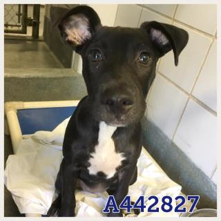 Mix-Bred LABRADOR RETRIEVER Female  Young  Puppy #A442827#  Animal Care Services (San Antonio) - click here to view larger pic