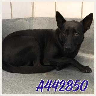Mix-Bred SHEPHERD Female  Adult  Dog #A442850#  Animal Care Services (San Antonio) - click here to view larger pic