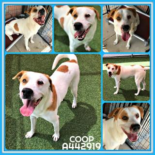 Mix-Bred LABRADOR RETRIEVER Male  Adult  Dog #A442919#  Animal Care Services (San Antonio) - click here to view larger pic