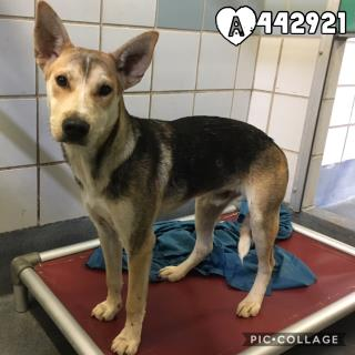 GERMAN SHEPHERD DOG Male  Young  Puppy #A442921#  Animal Care Services (San Antonio) - click here to view larger pic