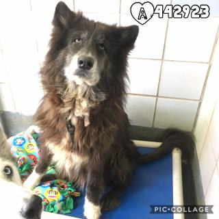 ALASKAN HUSKY Female  Adult  Dog #A442923#  Animal Care Services (San Antonio) - click here to view larger pic