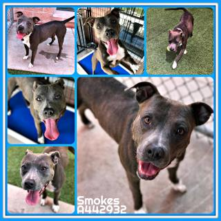 PIT BULL TERRIER Male  Adult  Dog #A442932#  Animal Care Services (San Antonio) - click here to view larger pic