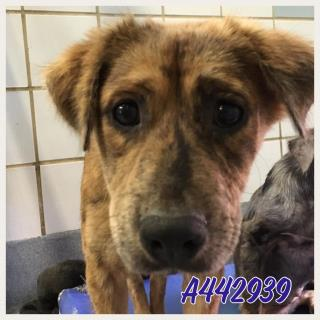 Mix-Bred AUSTRALIAN CATTLE DOG Female  Young  Puppy #A442939#  Animal Care Services (San Antonio) - click here to view larger pic