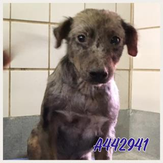 Mix-Bred AUSTRALIAN CATTLE DOG Female  Young  Puppy #A442941#  Animal Care Services (San Antonio) - click here to view larger pic