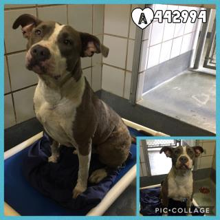 Mix-Bred PIT BULL TERRIER Female  Young  Puppy #A442994#  Animal Care Services (San Antonio) - click here to view larger pic