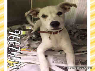Mix-Bred AMERICAN STAFFORDSHIRE TERRIER Male  Young  Puppy #A442996#  Animal Care Services (San Antonio) - click here to view larger pic