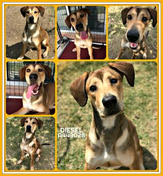 Mix-Bred GREAT DANE Male  Young  Puppy #A443028#  Animal Care Services (San Antonio) - click here to view larger pic