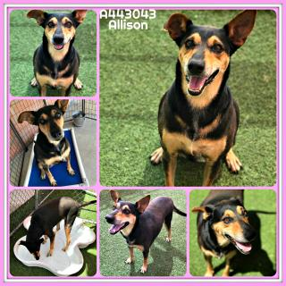 Mix-Bred SHEPHERD Female  Adult  Dog #A443043#  Animal Care Services (San Antonio) - click here to view larger pic