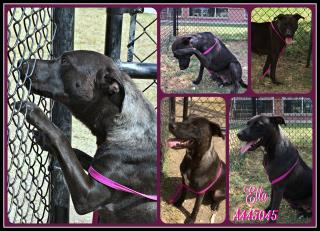 Mix-Bred BLUE LACY Female  Young  Puppy #A443045#  Animal Care Services (San Antonio) - click here to view larger pic