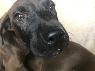 Mix-Bred LABRADOR RETRIEVER Female  Young  Puppy #A443066#  Animal Care Services (San Antonio) - click here to view larger pic