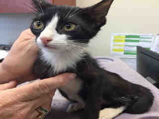 Mix-Bred DOMESTIC SHORTHAIR Female  Young  Kitten #A443092#  Animal Care Services (San Antonio) - click here to view larger pic