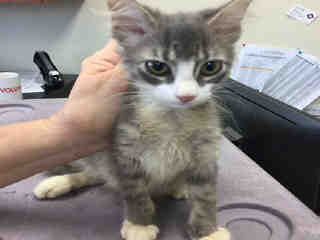 Mix-Bred DOMESTIC SHORTHAIR Female  Young  Kitten #A443093#  Animal Care Services (San Antonio) - click here to view larger pic