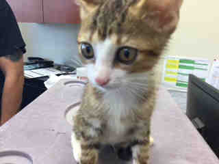Mix-Bred DOMESTIC SHORTHAIR Male  Young  Kitten #A443097#  Animal Care Services (San Antonio) - click here to view larger pic