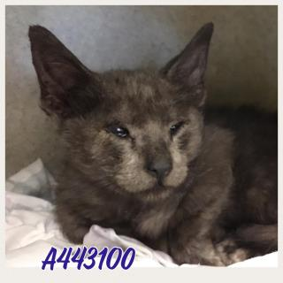 Mix-Bred DOMESTIC MEDIUMHAIR Male  Young  Kitten #A443100#  Animal Care Services (San Antonio) - click here to view larger pic