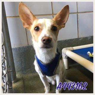 Mix-Bred JACK (PARSON) RUSSELL TERRIER Male  Adult  Dog #A443162#  Animal Care Services (San Antonio) - click here to view larger pic
