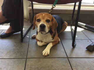 Mix-Bred BEAGLE Male  Adult  Dog #A443174#  Animal Care Services (San Antonio) - click here to view larger pic