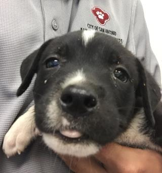 Mix-Bred LABRADOR RETRIEVER Male  Young  Puppy #A443177#  Animal Care Services (San Antonio) - click here to view larger pic