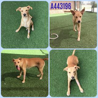 Mix-Bred LABRADOR RETRIEVER Male  Young  Puppy #A443196#  Animal Care Services (San Antonio) - click here to view larger pic