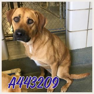 Mix-Bred RHODESIAN RIDGEBACK Male  Adult  Dog #A443209#  Animal Care Services (San Antonio) - click here to view larger pic