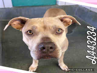 Mix-Bred AMERICAN STAFFORDSHIRE TERRIER Female  Young  Puppy #A443234#  Animal Care Services (San Antonio) - click here to view larger pic