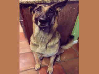 GERMAN SHEPHERD DOG Male  Adult  Dog #A443247#  Animal Care Services (San Antonio) - click here to view larger pic