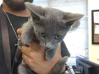 Mix-Bred DOMESTIC SHORTHAIR Female  Young  Kitten #A443371#  Animal Care Services (San Antonio) - click here to view larger pic