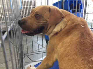 AMERICAN STAFFORDSHIRE TERRIER Male  Adult  Dog #A443413#  Animal Care Services (San Antonio) - click here to view larger pic