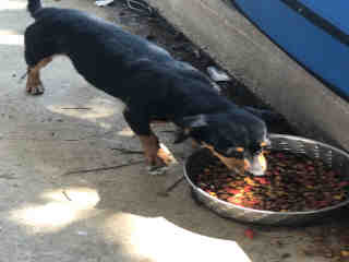 Mix-Bred MINIATURE PINSCHER Female  Adult  Dog #A443441#  Animal Care Services (San Antonio) - click here to view larger pic