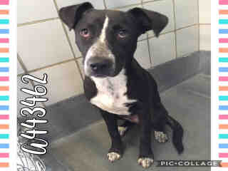 Mix-Bred LABRADOR RETRIEVER Female  Young  Puppy #A443462#  Animal Care Services (San Antonio) - click here to view larger pic