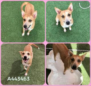Mix-Bred QUEENSLAND HEELER Female  Adult  Dog #A443463#  Animal Care Services (San Antonio) - click here to view larger pic
