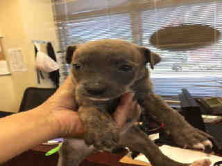 Mix-Bred AMERICAN STAFFORDSHIRE TERRIER Female  Young  Puppy #A443484#  Animal Care Services (San Antonio) - click here to view larger pic