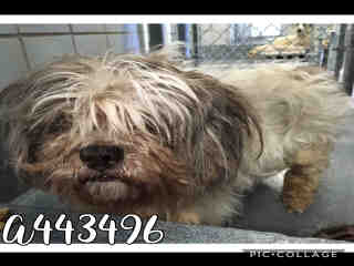 Mix-Bred SHIH TZU Female  Adult  Dog #A443496#  Animal Care Services (San Antonio) - click here to view larger pic