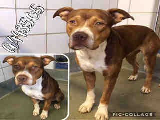 Mix-Bred AMERICAN STAFFORDSHIRE TERRIER Male  Adult  Dog #A443505#  Animal Care Services (San Antonio) - click here to view larger pic