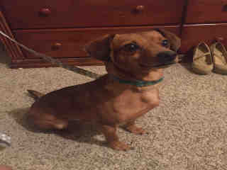 Mix-Bred DACHSHUND Male  Adult  Dog #A443511#  Animal Care Services (San Antonio) - click here to view larger pic