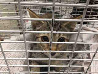 Mix-Bred DOMESTIC SHORTHAIR Female  Young  Kitten #A443518#  Animal Care Services (San Antonio) - click here to view larger pic