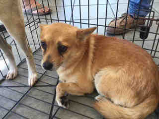 Mix-Bred CHIHUAHUA - LONG HAIRED Male  Adult  Dog #A443521#  Animal Care Services (San Antonio) - click here to view larger pic