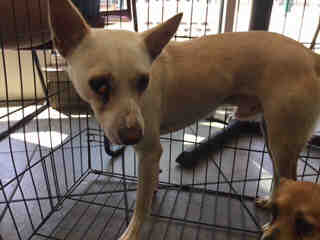 Mix-Bred RAT TERRIER Male  Adult  Dog #A443523#  Animal Care Services (San Antonio) - click here to view larger pic